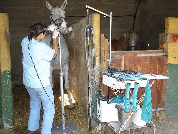 Matilde Duch dentista equina veterinaria trabajando