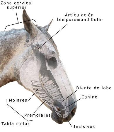 Visualización del craneo del caballo