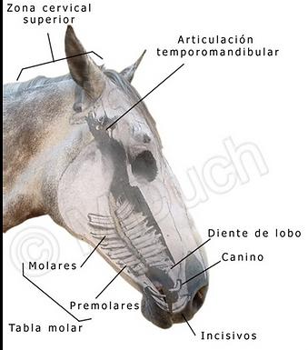 Ilustración esquemática de la situación de las diferentes piezas dentarias del caballo | dentista M Duch