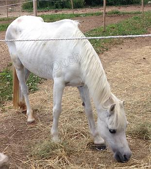 Los caballos que pierden peso a pesar de disponer buena ración de comida, a menudo tienen problemas en los dientes | dentista equina M Duch