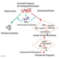 ER beta endometriosis.jpg
