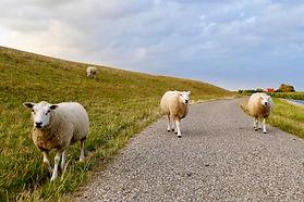 sheep-4437170.jpg