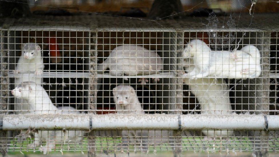 BC农场内水貂被证实群聚感染