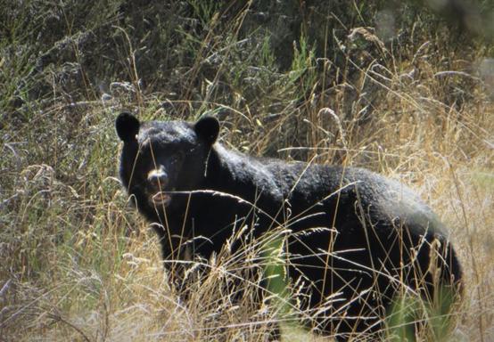 萨尼奇警告严防黑熊出没