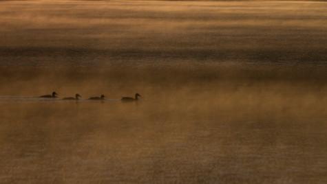 Orange Ducks