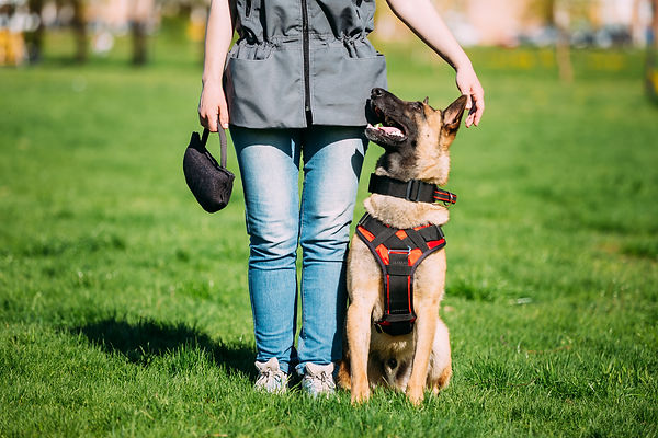 Malinois Dog Sit Outdoors In Green Summe
