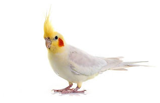 Pet Bird Cremation