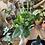 Thumbnail: Heart Leaf Fern