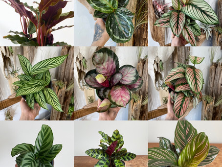 Calathea/Prayer Plant Care