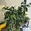 Thumbnail: Ficus Midnight