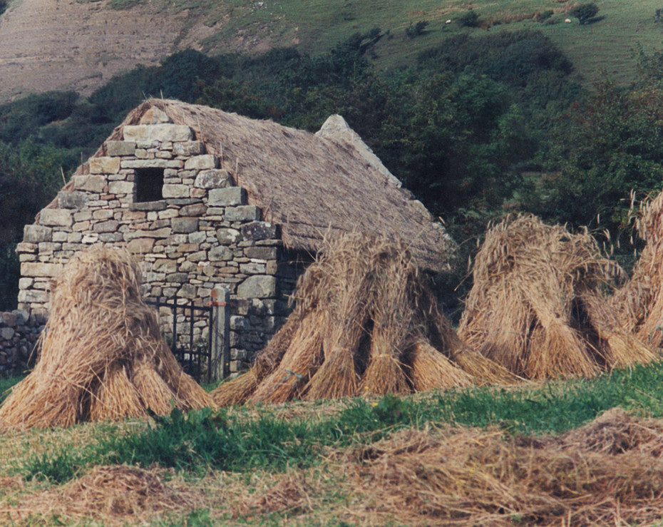 I sowed an acre of rye to use for the thatching.