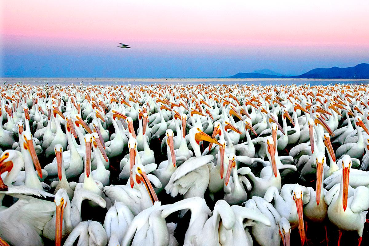 Petatan - Pelicanos 1