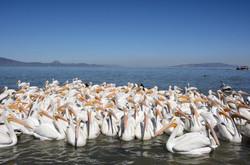 4 Pelicanos-6