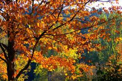 Talpa de Allende - Bosque de Maple 4