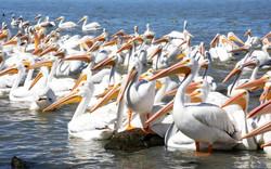 4 Pelicanos-7