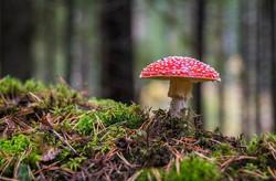 mushroom-3051519_960_720