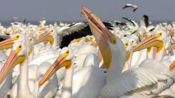 4 Pelicanos-5
