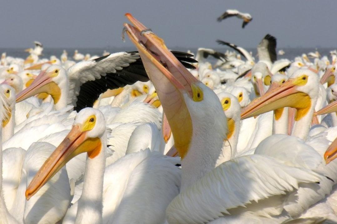 Petatan - Pelicanos 4