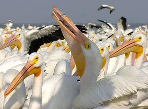 Petatan - Pelicanos 4.jpg