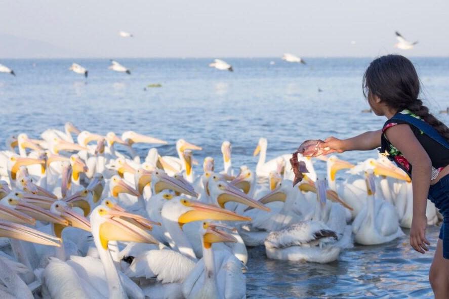 Petatan - Pelicanos 3