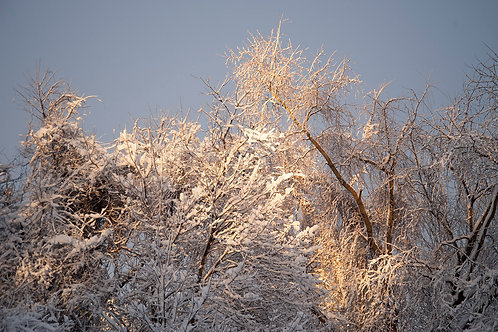 Trees After Snowstorm by Roy Crystal, Photographer