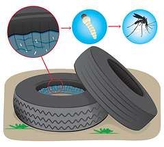 Mosquito breeding in standing water