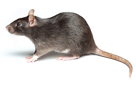 Mice, Rats, Rodents exterminator