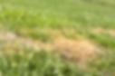 Brown lawn spots, weeds, fungus