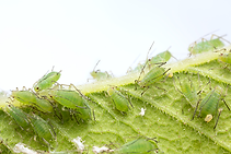 Aphids and lawn pests