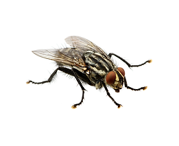 House Fly, Fruit Fly, Flies