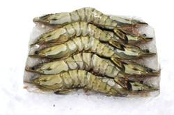 Tiger Shrimps Head-on (Block)