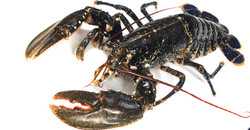 European Lobster