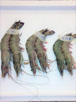 black tiger shrimps