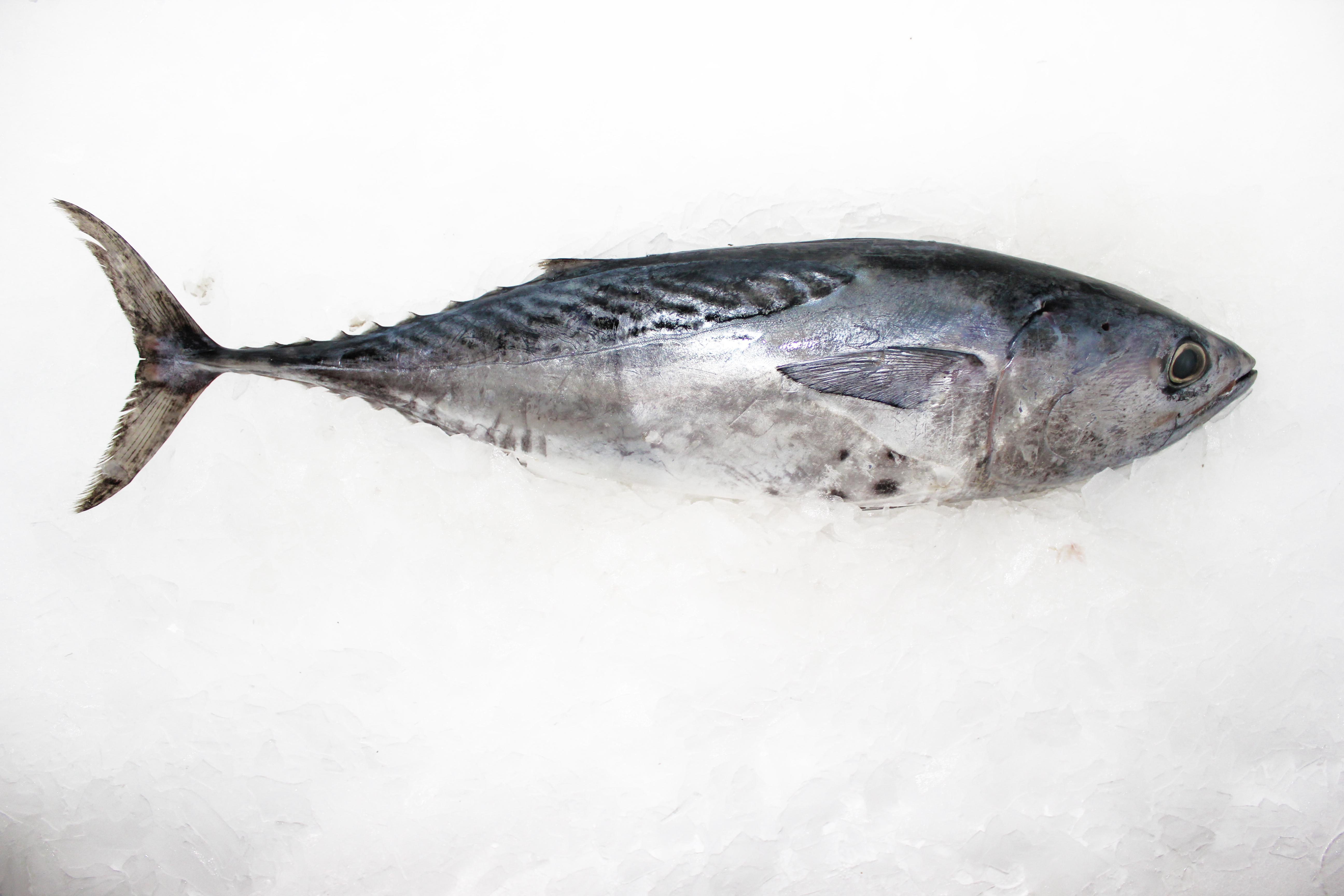 Tuna whole