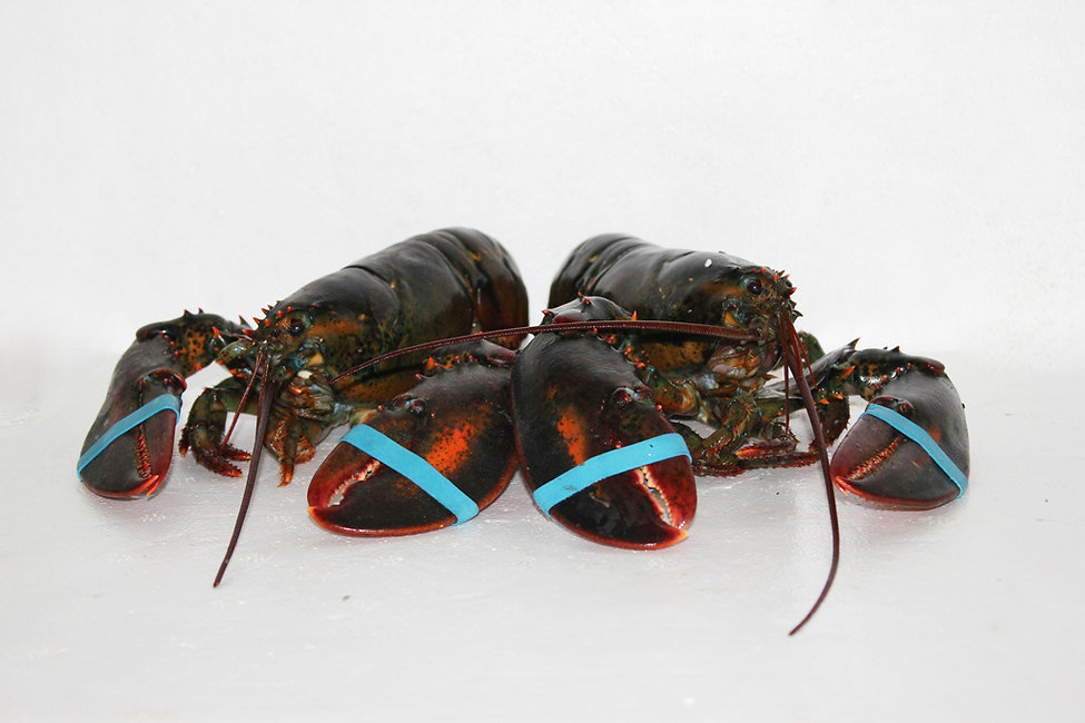 Canadian Lobster 6-8grams 8-1000grams  (