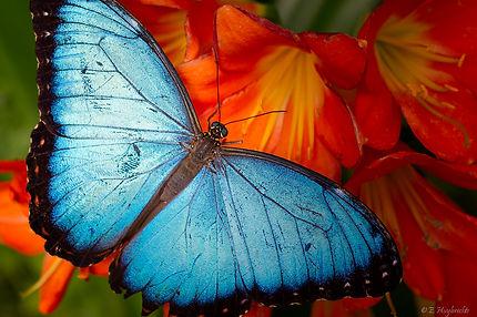 Papillon_Bleu_-_Blue_Butterfly_(58619691
