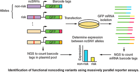 Fuxman Bass lab: study of disease mutations