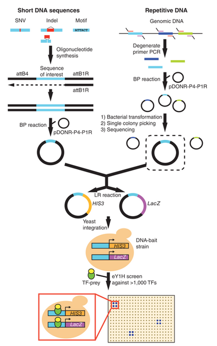 eY1H tools to study mutations and repetitive elements