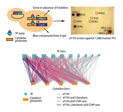 Comprehensive mapping of the human cytokine gene regulatory network
