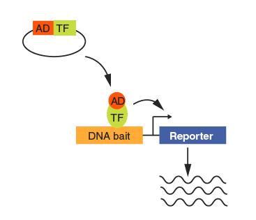 Methods protocols: Gene-Centered Yeast One-Hybrid Assays