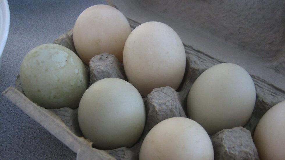 1/2 dozen Duck Eggs
