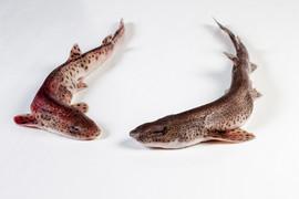 Groothandel-vis-FishXL-vis-hondshaai_WL_