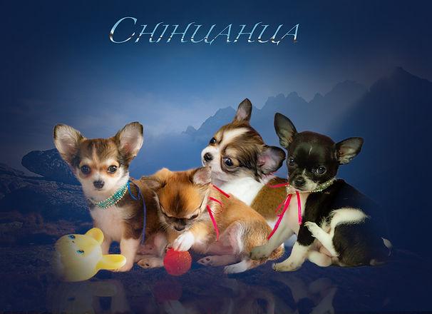 cuccioli chihuahua.jpg