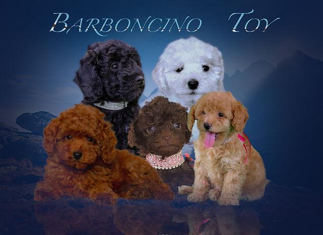 cuccioli barboncino .jpg