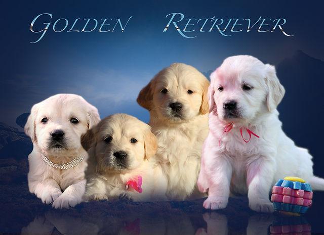 cuccioli golden h.jpg