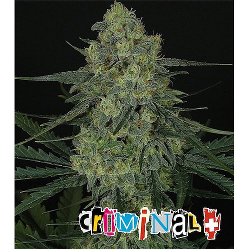 1 SEED CRIMINAL (Ripper seeds)