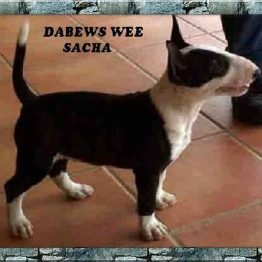 Dabews Wee Sacha