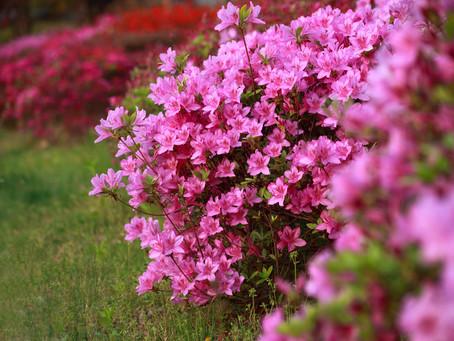 Péče o azalky a rododendrony