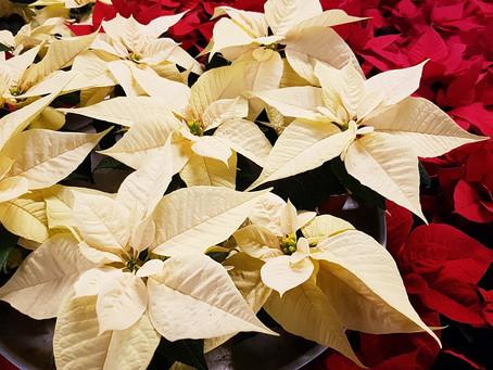 Vánoční hvězda - exotický symbol Vánoc