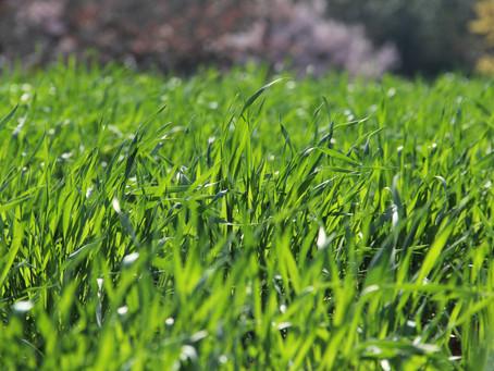 Regenerace trávníku po zimě